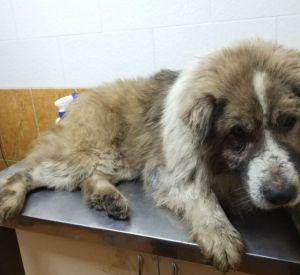 В Смоленске разыскивают пса, которого сбила машина (фото)