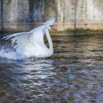Горожан попросили не подкармливать лебедей