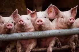 Очаг африканской чумы свиней выявлен под Смоленском