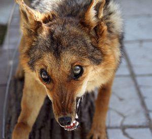 В Гагаринском районе участились случаи бешенства животных