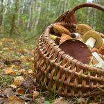 Поиски заблудившегося грибника-инвалида остановлены