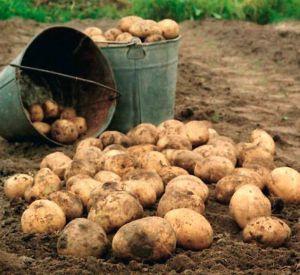 Молодые парни за кражу картофеля окажутся за решеткой