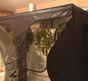 Наркополиция накрыла лабораторию по выращиванию конопли (фото, видео)