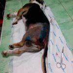 Сбитого на днях пса прооперировали