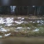 Видео: очевидцы сняли на телефон прогуливающихся маралов