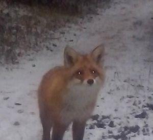 В Соловьиной роще видели лису