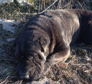 Водитель сбил породистую собаку и скрылся с места происшествия