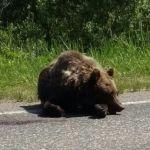 Что стало со сбитым под Смоленском медведем