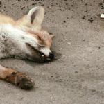 В Смоленской области жильцы дома обнаружили мертвую лису в подъезде