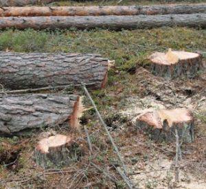 ОНФ обнаружил вырубку здорового леса под видом больного