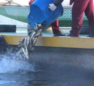 В Десногорское водохранилище выпустили шесть тонн ценных рыб
