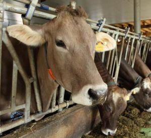 В регионе сократились поголовье скота и выпуск продуктов животноводства