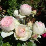 В Духовщине собирают деньги на розы
