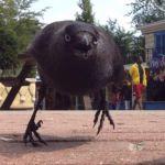 Агрессивная ворона держит в страхе жителей области