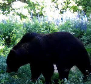 В заповеднике фотоловушка запечатлела косолапого (видео)