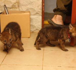 Смолянин приютил волчат после лесного пожара