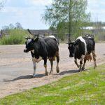 71-летнюю бабушку и корову сбила отечественная легковушка