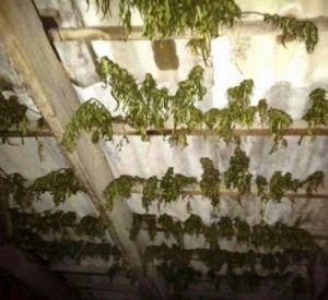 У жителя Голынок на чердаке нашли кусты конопли