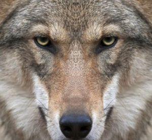 В Смоленской области волки загрызли собаку