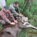 Фото: В Смоленской области мужчина попытался спасти раненного браконьерами молодого лося