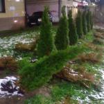 В Смоленске с улицы Николаева снова пытались украсть туи