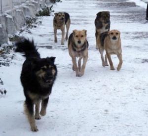 На жительницу Королёвки напала свора агрессивных собак