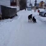 Стая бродячих собак пугает жителей смоленского райцентра (видео)