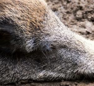 Браконьер убил беременную самку кабана в Смоленском Поозерье
