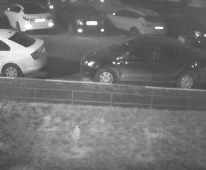 В Смоленске на камеры наблюдения попала кража голубой ели (видео)