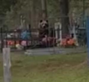 Видео: Ярцевчане встретили на кладбище медведя