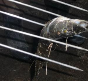На Подснежниках поймали браконьера с острогой