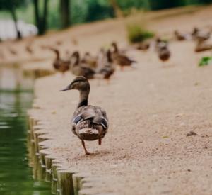 """Почему гибнут утки в озере парка """"Соловьиная роща"""""""