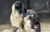 Свора агрессивных собак напала на смолянку