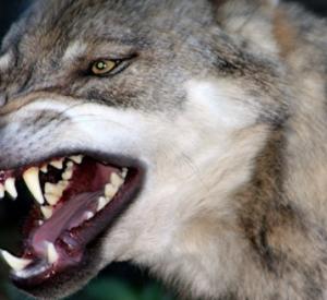 """В """"Смоленском Поозерье"""" решили вопрос с нападением волков-гибридов"""