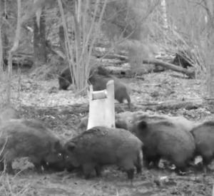 Стадо кабанов попали в видеоловушку национального заповедника