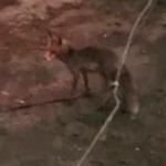 Жители Рославльского района заметили лисицу, разгуливающую по деревне