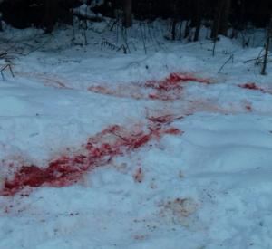 В Смоленской области волк загрыз собаку