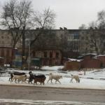 Пока свора агрессивных собак держит в страхе жителей Рославля, местная администрация бездействует