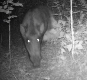 В смоленском заповеднике фотоловушка сняла посетителей звериной тропы (видео)
