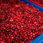 Из Беларуси в Смоленск пытались ввезти более 430 кг клюквы и малины