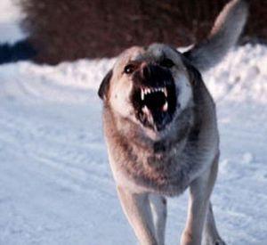 Фото: Под Смоленском бездомные собаки нападают на местных жителей