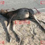 Под Смоленском автомобилист сбил лося и скрылся с места ДТП