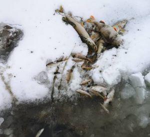 Причиной массовой гибели рыбы в реке Гжать стало загрязнение сточными водами и недостаток кислорода
