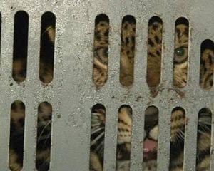Смоленские полицейские задержали автобус с леопардом