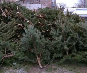 Двое рославльских браконьеров вырубили около 300 хвойных деревьев