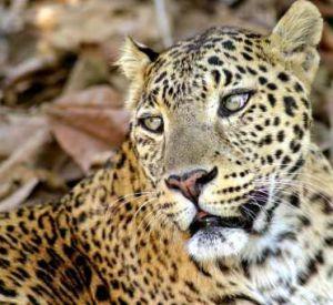 Цирк обвиняет в вымогательстве отца девочки, на которую напал леопард