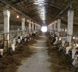 В Краснинском районе за антисанитарию на ферме временно закрыли колхоз