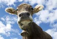 В Смоленской области взбесились коровы