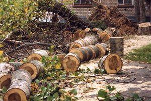 На Блонье вырубят 152 дерева