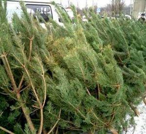 В городе определили семь мест продажи новогодних елок
